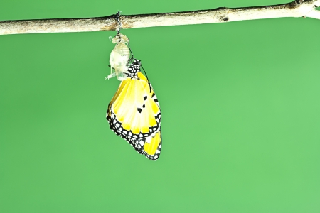 monarch: Monarch butterfly emerging from its chrysalis  Stock Photo