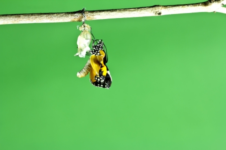 rebirth: Monarch butterfly emerging from its chrysalis  Stock Photo