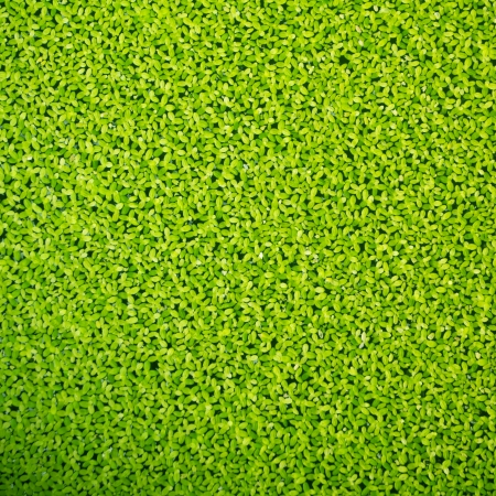 small details: Duckweed covered on the water surface