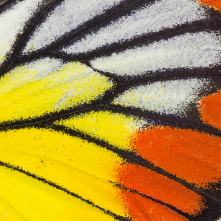 butterfly wings: Butterfly wing texture, close up of detail of butterfly wing for background