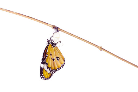 Monarch butterfly emerging from its chrysalis on white background