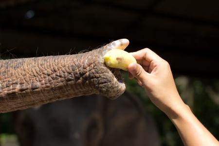 clutching: Men hand feeding an elephant with banana