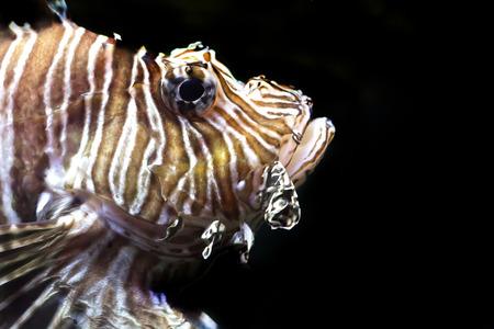 pterois: Lion fish, Pterois volitans