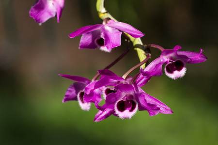 Purple orchid flower in nature green background photo