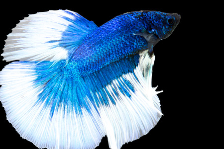 fire fin fighting: betta, siamese fighting fish isolated with clipping path Stock Photo