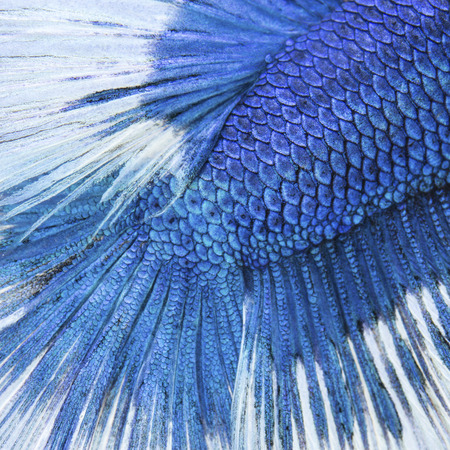 caudal fin: Close up on a fish skin - blue Siamese fighting fish use for background
