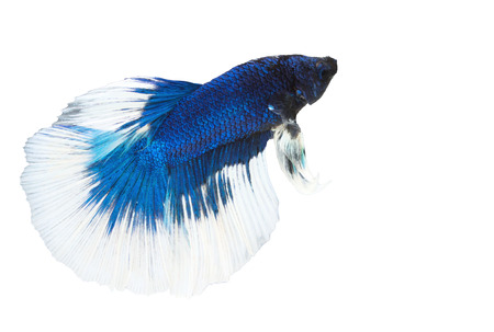 fire fin fighting: betta, siamese fighting fish on white background