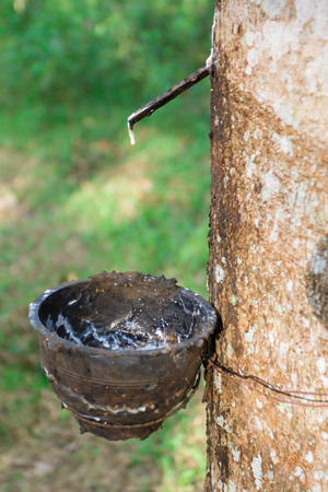 tapper: Latex of para rubber from rubber tree or Hevea brasiliensis  Stock Photo