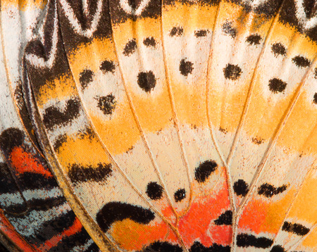 papillon: la texture de l'aile de papillon, gros plan de d�tail de aile de papillon pour le fond