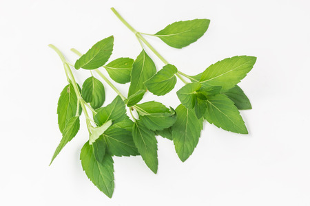 Fresh Peppermint herb leaf sprig isolated on white background