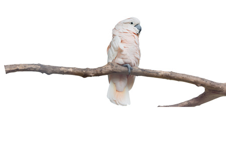 parot: white parrot macaw on white background with clippping paths