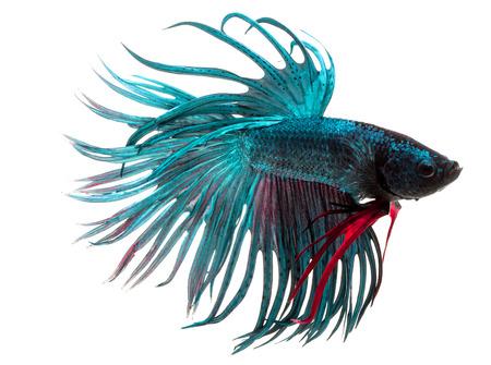 siamese fighting fish: Betta fish, siamese fighting fish, betta splendens isolated on white background