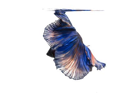 betta splendens: Betta fish, siamese fighting fish, betta splendens isolated on white background