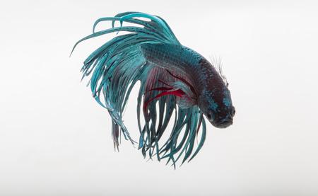 blue fish: Betta fish, siamese fighting fish, betta splendens isolated on white background