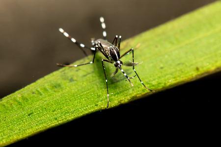 bloodsucker: mosquito on leaf