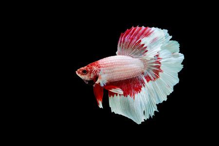 betta splendens: Betta fish, siamese fighting fish, betta splendens isolated on black background Stock Photo
