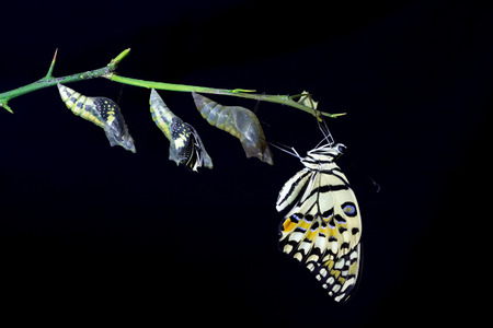 transformation of Lime Butterfly (papilio demoleus) on black background Фото со стока