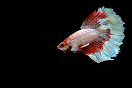Betta fish, siamese fighting fish, betta splendens isolated on black background Stock Photo