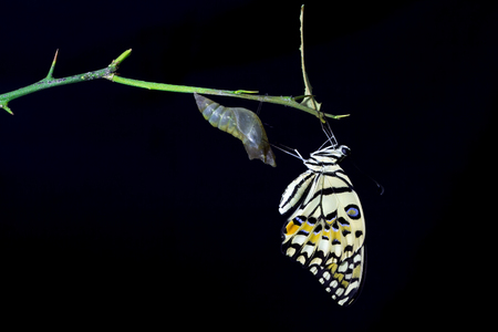 emerging: butterfly emerging from its chrysalis on black background