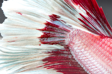 fish tail: Texture of tail siamese fighting fish for background