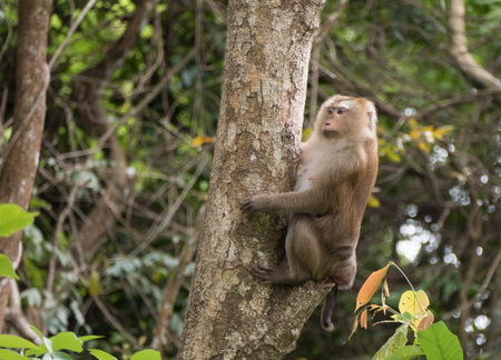 wild asia: monkey in forest, South of Thailand