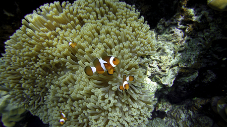 amphiprion ocellaris: Nemo (Anemonefish) family in front of their anemone home. Andaman Sea, Thailand.