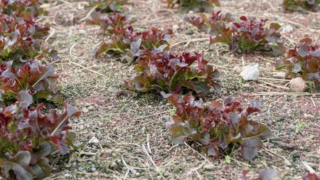 Red oak vegetable on field Stock Photo