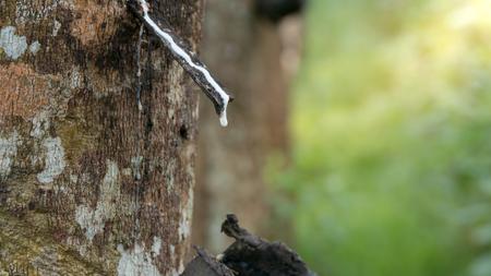 Abschluss oben des Gummilatex der Gummibäume.
