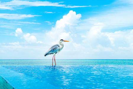 Tropical bird of the heron family sitting on the edge of the pool  Stock Photo