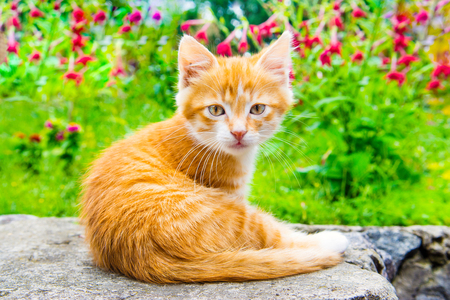 Little red kitten sitting in a blooming green garden. Cute young cat sitting in front and looking away.  스톡 콘텐츠