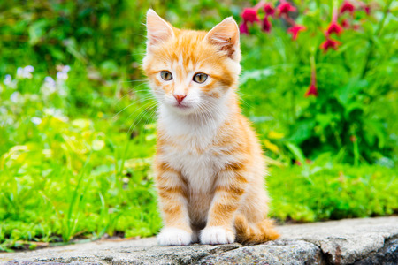Little red kitten sitting in a blooming green garden. Cute young cat sitting in front and looking away.  Stockfoto