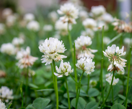 White clover flowers from life to death