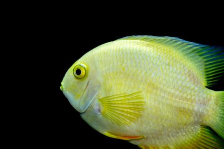 Female Golden Severum cichlid Heros severus