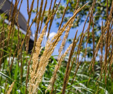 kansas: Golden Kansas prairie grass ready to drop seeds