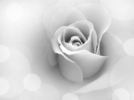 Lady Rose photo