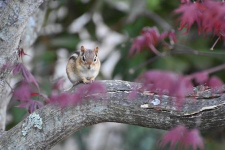 ardilla: Chipmunk que presenta en una rama del arce japonés Foto de archivo