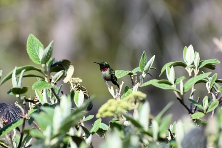 atop: Male Ruby Throated Hummingbird perched atop a viburnum tree