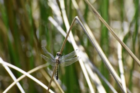 odonata: dragonfly resting by a pond Stock Photo