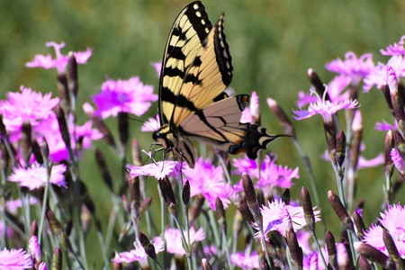 swallowtail: swallowtail butterfly on dianthus flowers Stock Photo