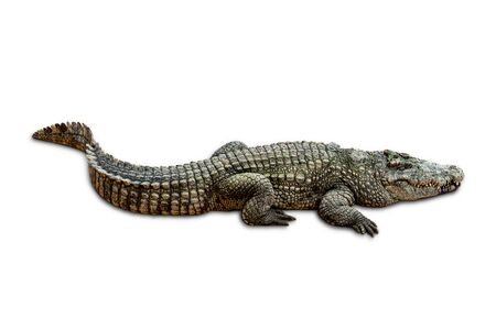 Large old crocodile isolated on white background. with clipping path.