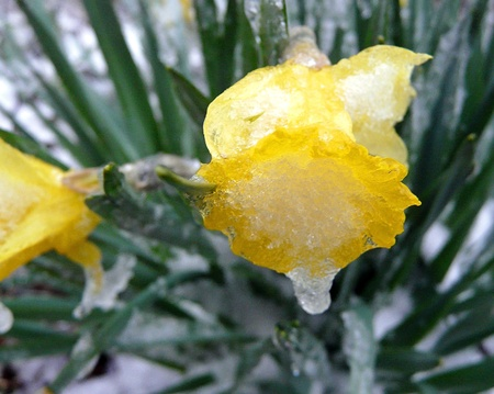 gentile: Daffodil frozen by an ice storm Stock Photo