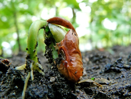 unfolding: Closeup of a bean germinating, shedding the brown hull of the seed