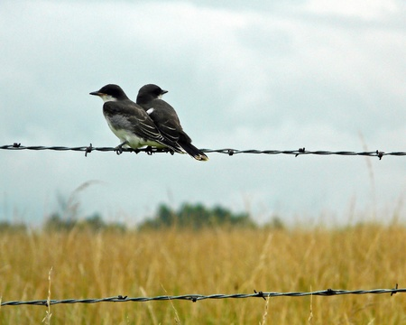 barbed wire fence: Two birds sitting side by side on a barbed wire fence