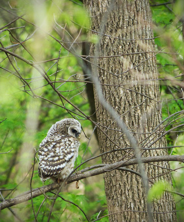 barred: This photo features a baby Barred Owl (Hoot Owl) perched on a branch.