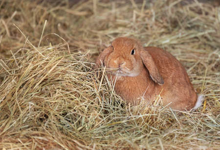 A lop-eared red rabbit sits in dry grass. Pet.