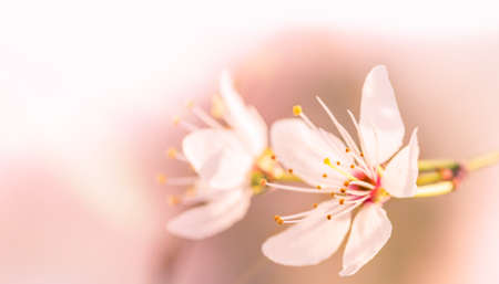 Cherry blossoms. Two sakura flowers closeup in defocus on a pale pink background. Blooming gardens. Blurred background. Macro shot. Copy space