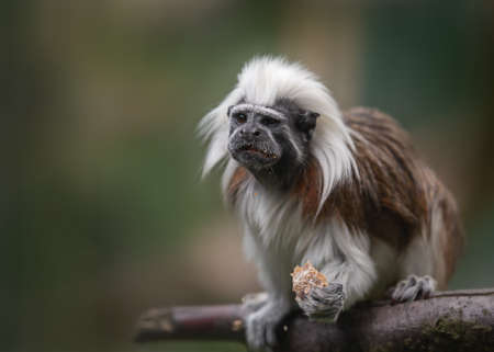 cotton-top tamarin, Saguinus oedipus - small New World monkey sitting on a branch and holding bread in its paw. Denizen tropical forest edges and secondary forests in northwestern Colombia.