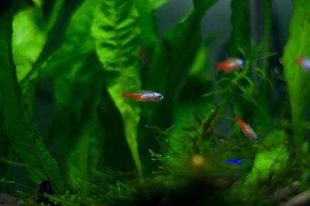 tricolor: Tricolor lamp fish Stock Photo