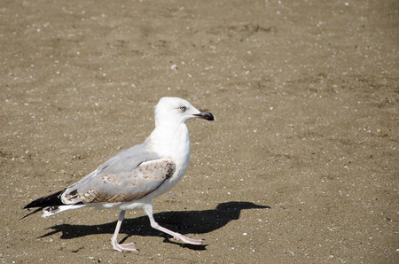 Walking seagull on the sand Imagens