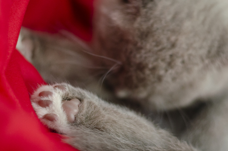 Close-up shot of kitten`s gray paw lying on red blanket. Copy space Banque d'images